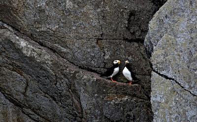Horned puffins on a rock ledge in Alaska. Flickr:Kaitlin Thoresen