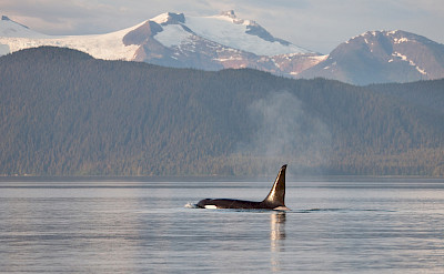 Orca Whale in Frederick Sound in Alaska. ©TO