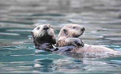 Sea otters swimming in Alaska. ©TO