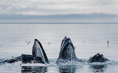 Whales bubble net feeding in Alaska. ©TO