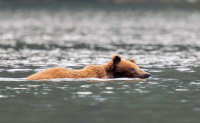 Brown bear swimming, Alaska. ©TO
