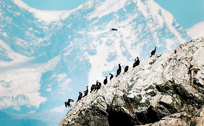 Flock of cormorants in Alaska. ©TO