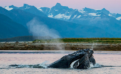 Humpback whales bubble feeding at sunset, Alaska. ©TO