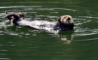 Sea otter in Alaska. ©TO