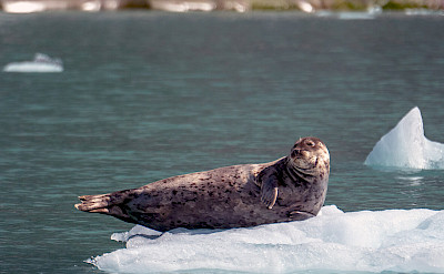 Seal on iceberg in Alaska. ©TO