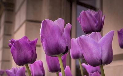 Tulips at Cliveden in Buckinghamshire, Berkshire, England. Flickr:Adrian Scottow