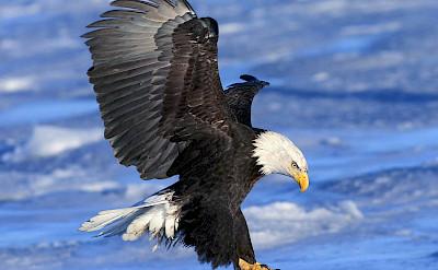 Bald eagle landing, Alaska. Flickr:Rangell Willaims