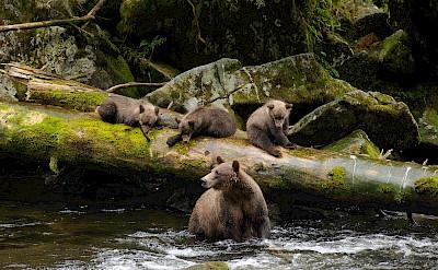 Brown bears in Anan Creek, Tongass Alaska. Flickr:usda
