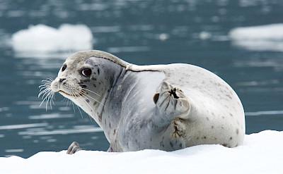 Seal on ice, Alaska. ©TO