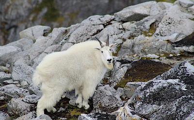 Mountain goat in Tongass Forest, Alaska. Flickr:Benjamyn Limle