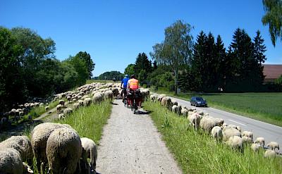 Biking among sheep near Passau, Germany. Flickr:Brian Burger