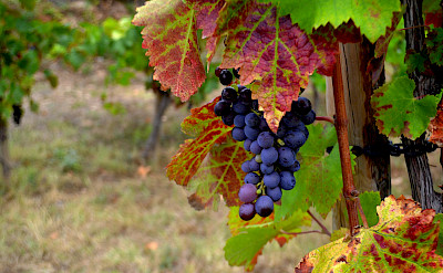 Cabernet Sauvignon grapes growing in Catalonia, Spain. Flickr:Angela Llop