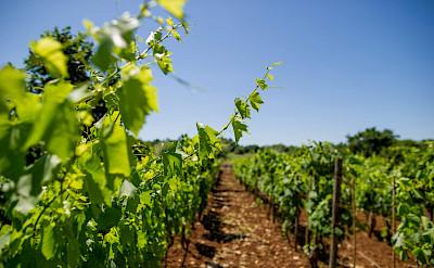 Vineyards at Savicenta, Istria, Croatia. ©TO
