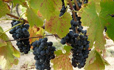 Fresh Spanish grapes!