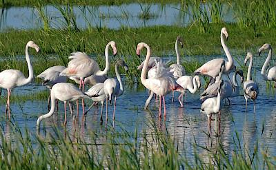 Flamingos in Castelló d'Empúries, Spain. Flickr:Bernard DUPONT