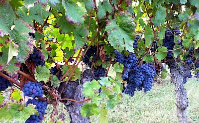 Exterior Grapes Near Harvest