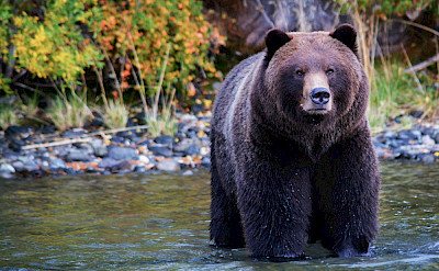 Grizzly Bear Posing