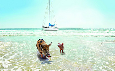 Pigs And Sail