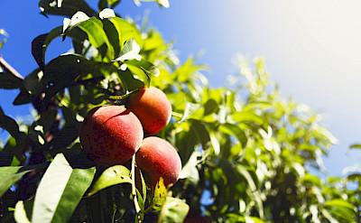 Peach N The Garden